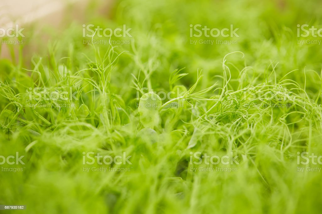 germinated pea green shoots stock photo