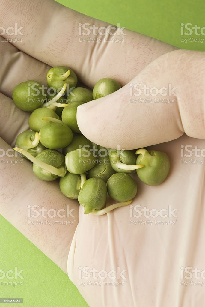 Germinated peas in hand royalty-free stock photo