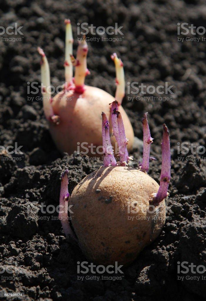 Germinated potato on the ground stock photo