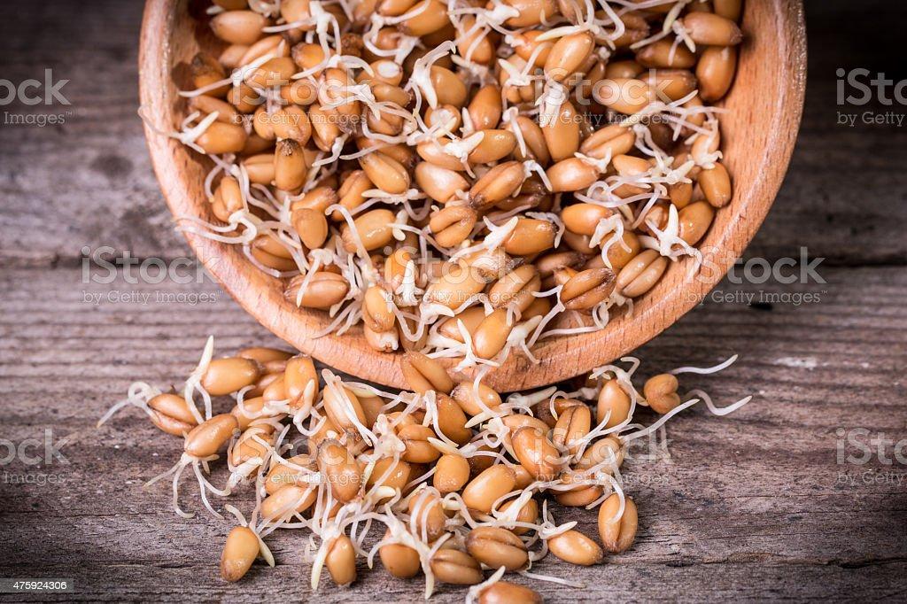 germinated wheat stock photo