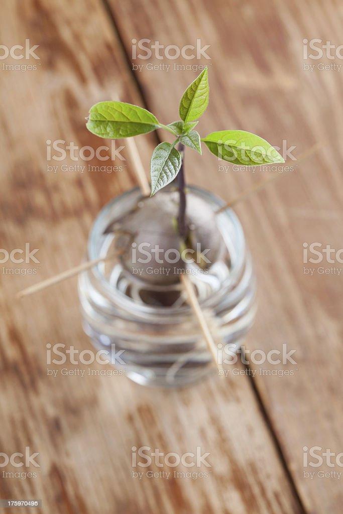 Germinating avocado - part 4 royalty-free stock photo