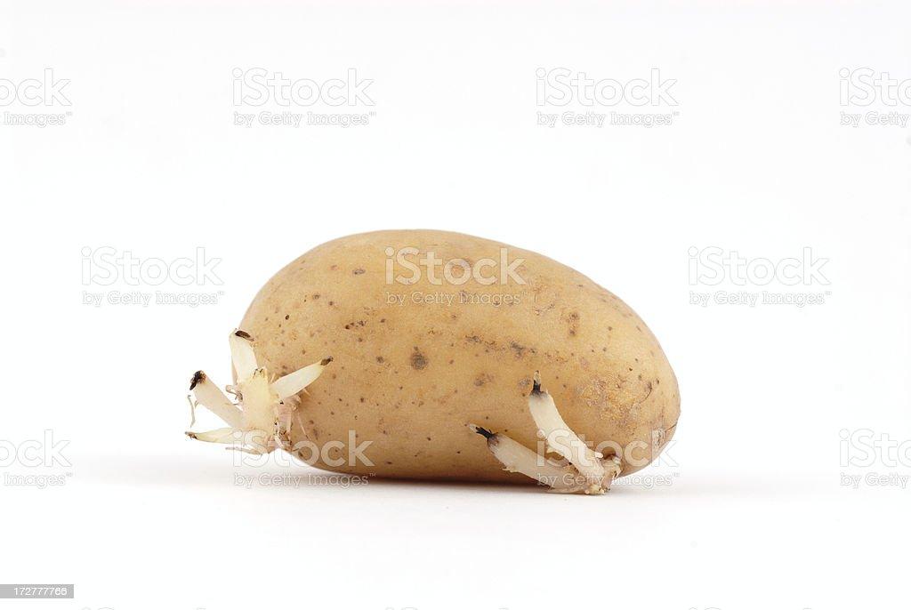 germinating potato stock photo