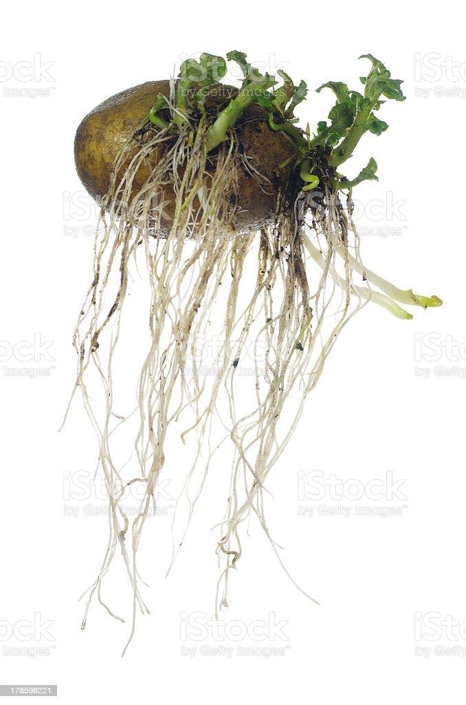 germinating potato royalty-free stock photo