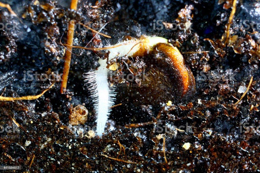 Germination -Lunaria annua stock photo
