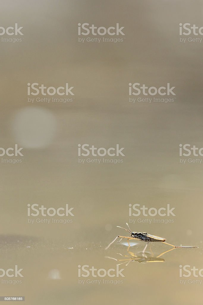 Gerris lacustris, commonly known as the common pond skater stock photo