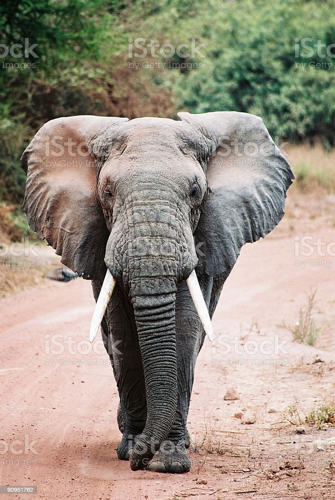Get out of my way! - African elephant stock photo