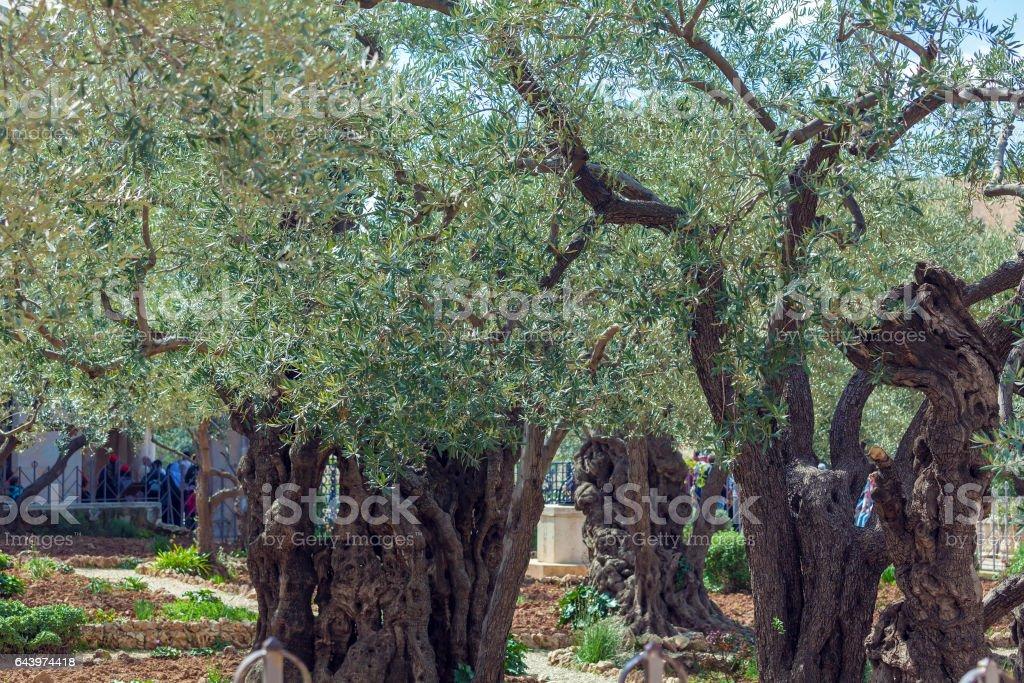 Gethsemane Garden at Mount of Olives, Jerusalem, Israel stock photo