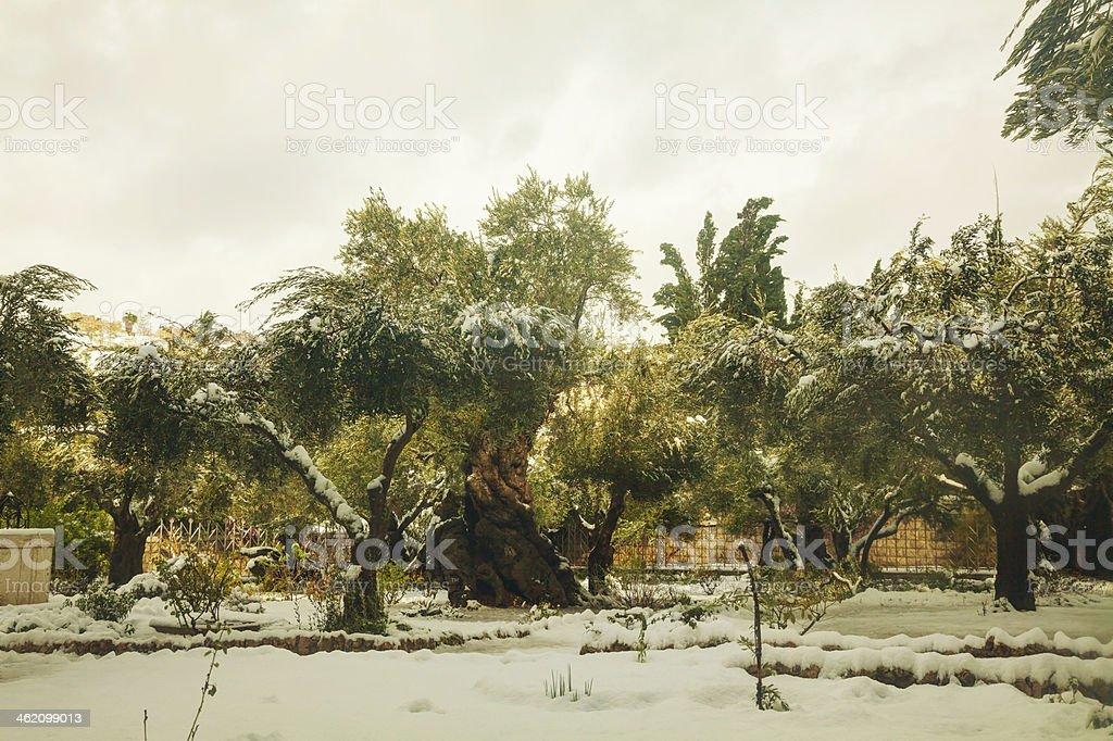 Gethsemane garden in Jerusalem royalty-free stock photo