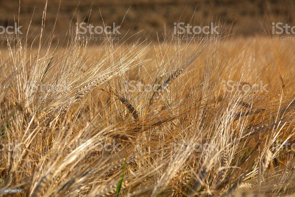 Getreide royalty-free stock photo