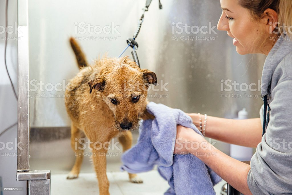 Getting Dry At The Groomers stock photo