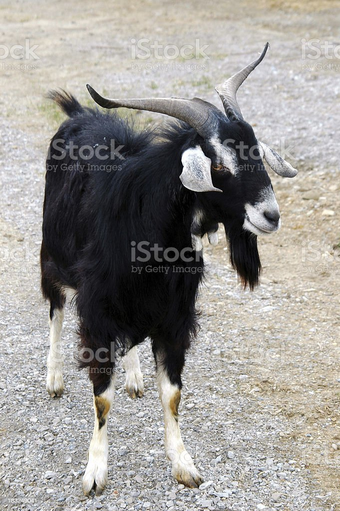 Getting My Goat stock photo