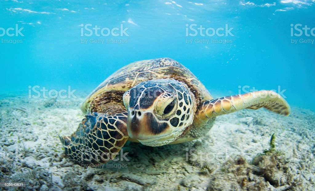 Getting up close with Mr Sea Turtle stock photo