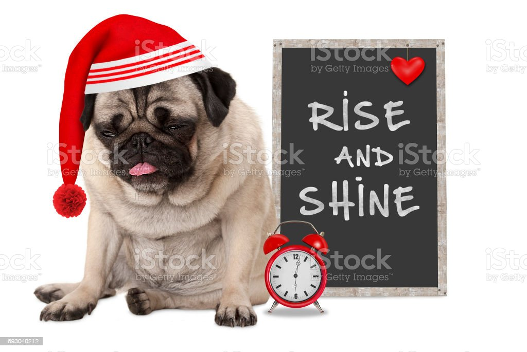 getting up in early morning, grumpy pug puppy dog with red sleeping cap, alarm clock and sign with text rise and shine stock photo
