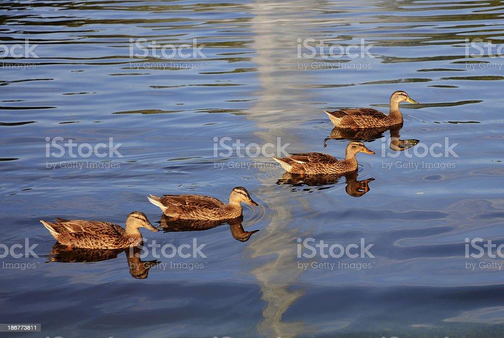 Получение Ваши Ducks in a Row Стоковые фото Стоковая фотография