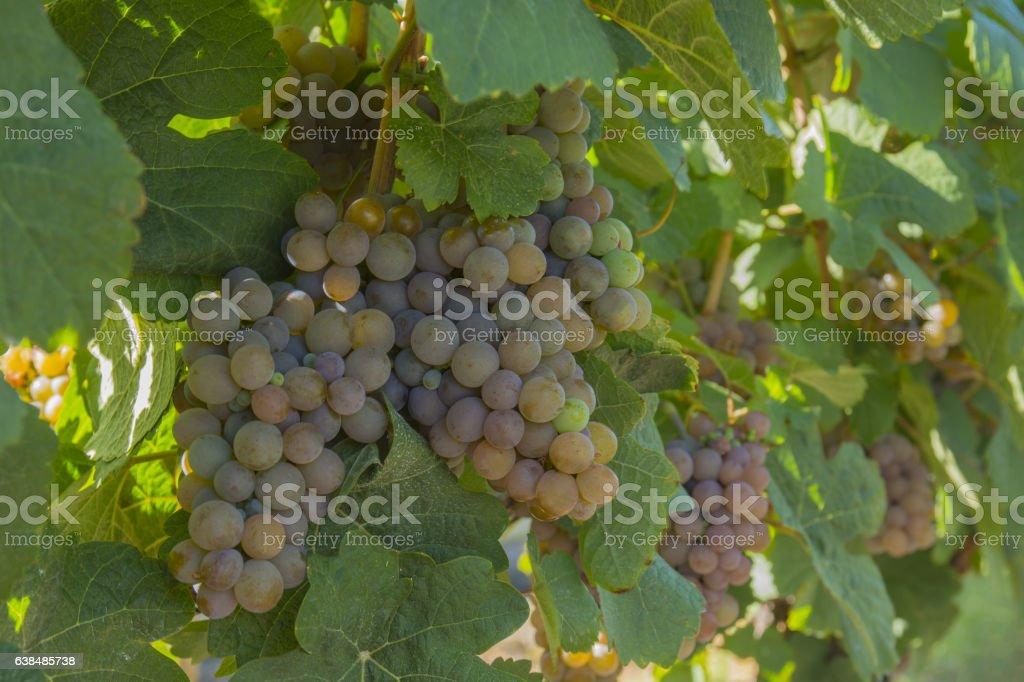 Gewurztraminer Grapes in Vineyard Okanagan Kelowna British Columbia Canada stock photo