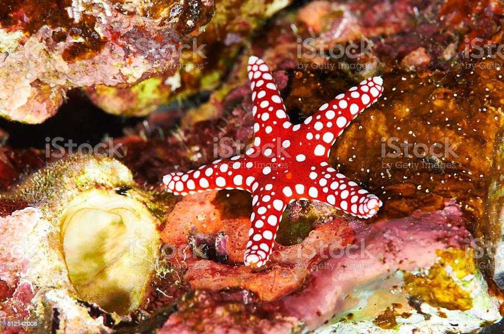 Ghardaqa sea star stock photo