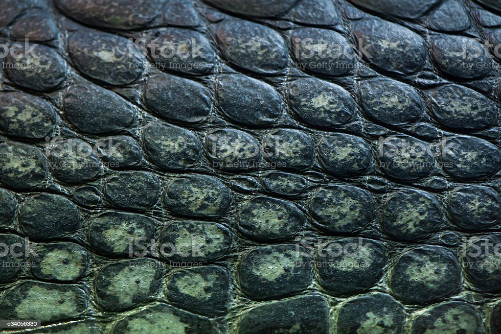 Gharial (Gavialis gangeticus), also knows as the gavial. stock photo