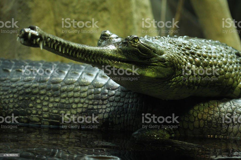 Gharial (Gavialis gangeticus) stock photo