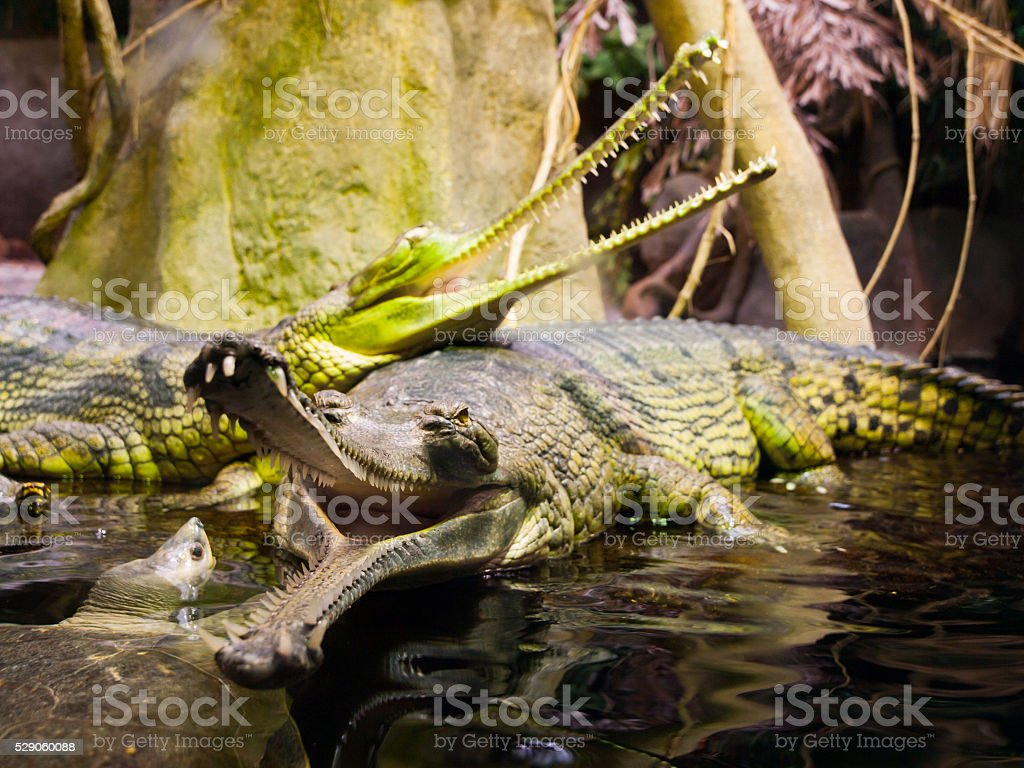 Gharial with open mouth stock photo