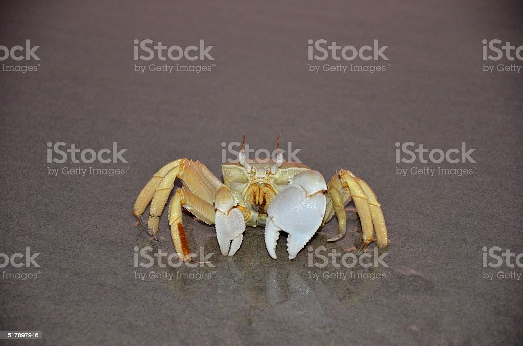 Ghost crab in water stock photo