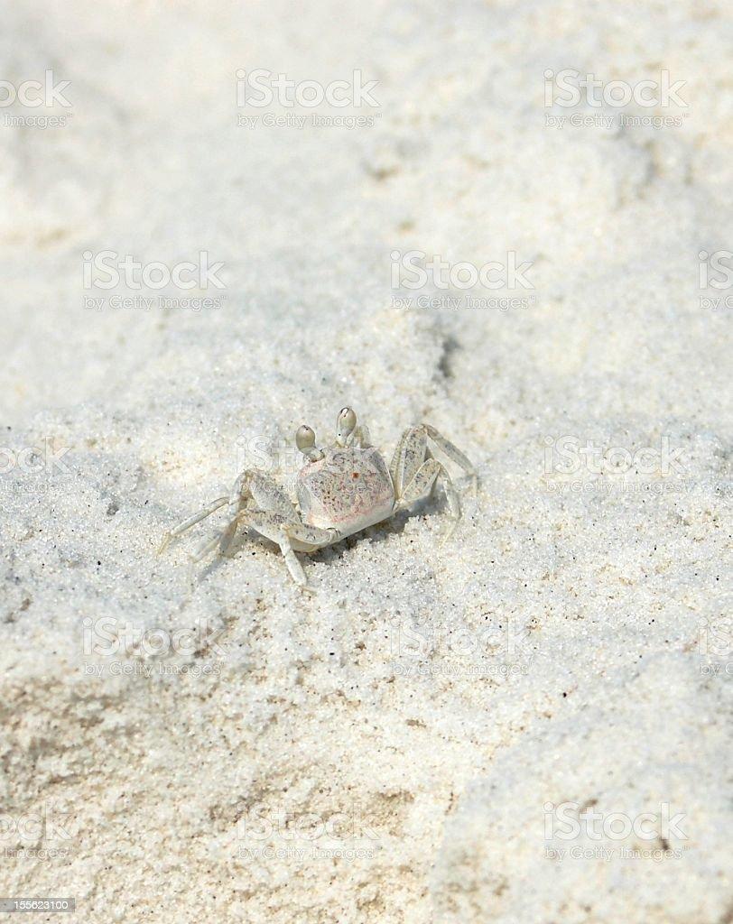 Ghost Crab(Ocypode quadrata)on the Gulf Shores stock photo