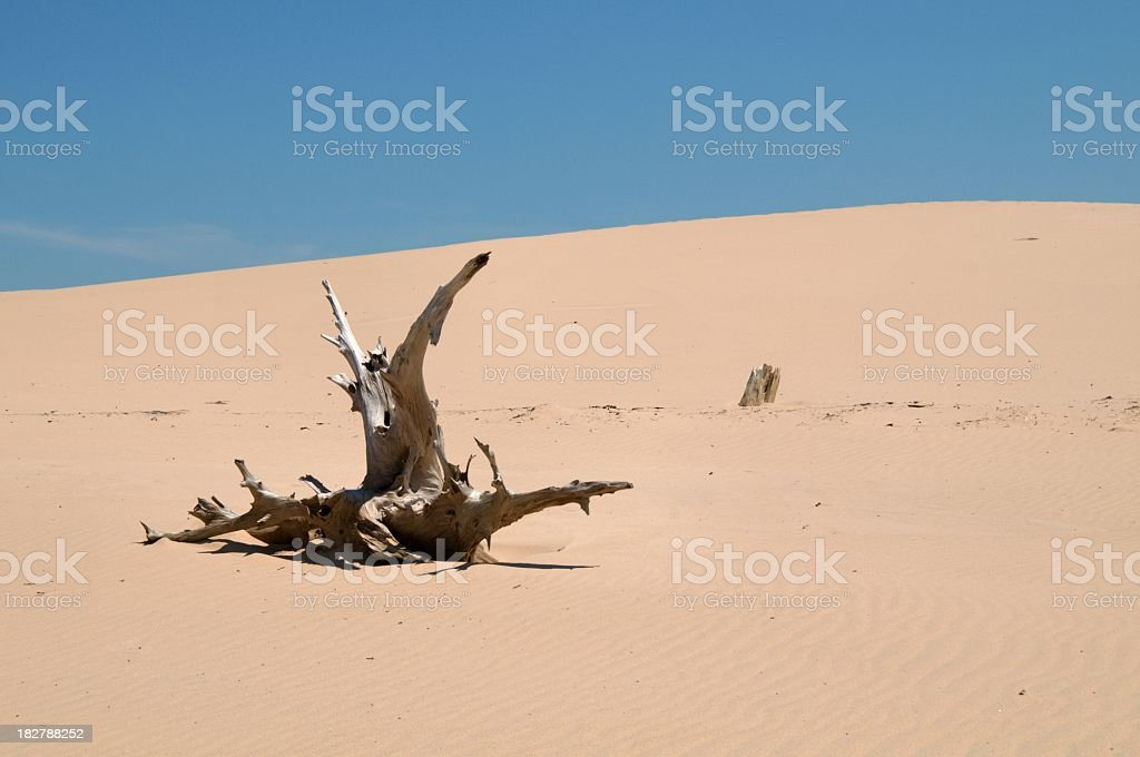 Ghost Forest in Lake Michigan Dunes royalty-free stock photo