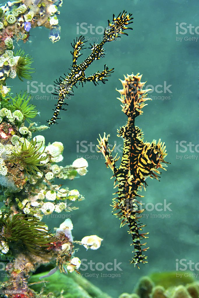 Ghost Pipefish pair floating above coral stock photo
