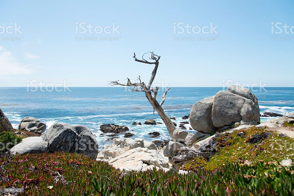 Ghost tree at 17 Mile Drive in Big Sur stock photo