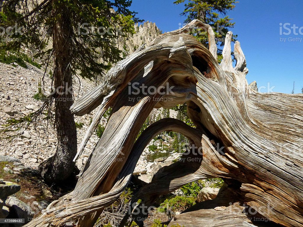 Ghost Tree Root stock photo