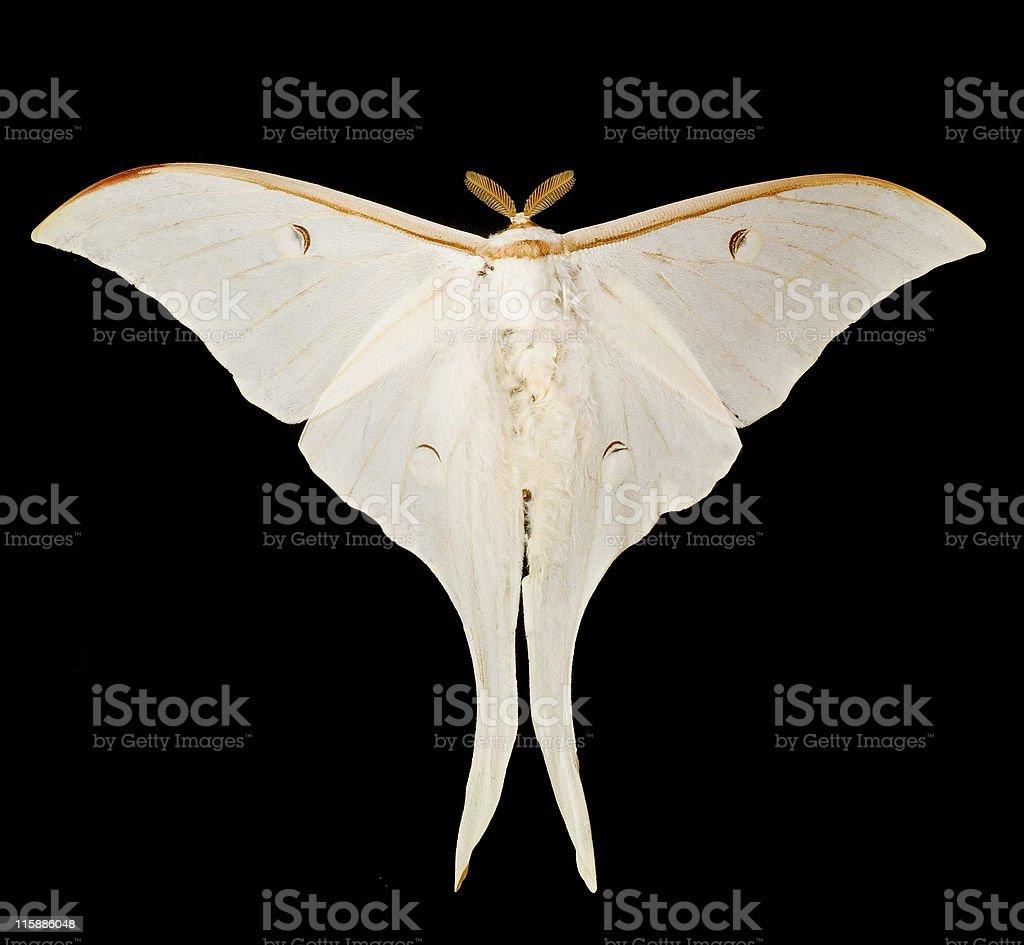 Ghostly Silk Moth stock photo