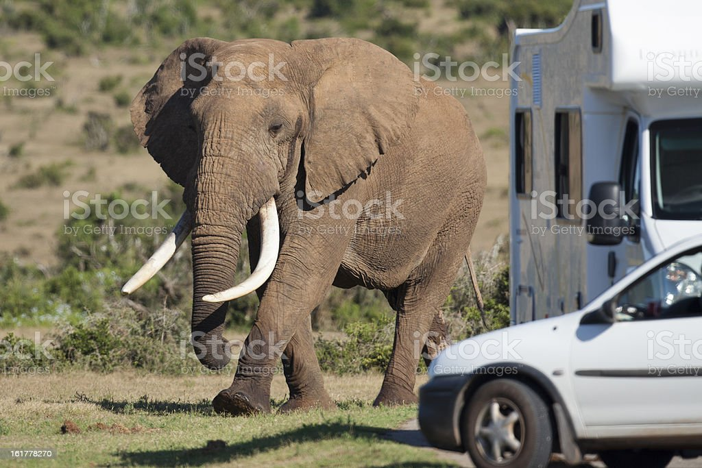Giant African elephant tusker royalty-free stock photo