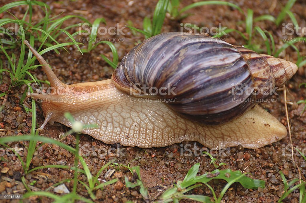 Giant African Snail royalty-free stock photo