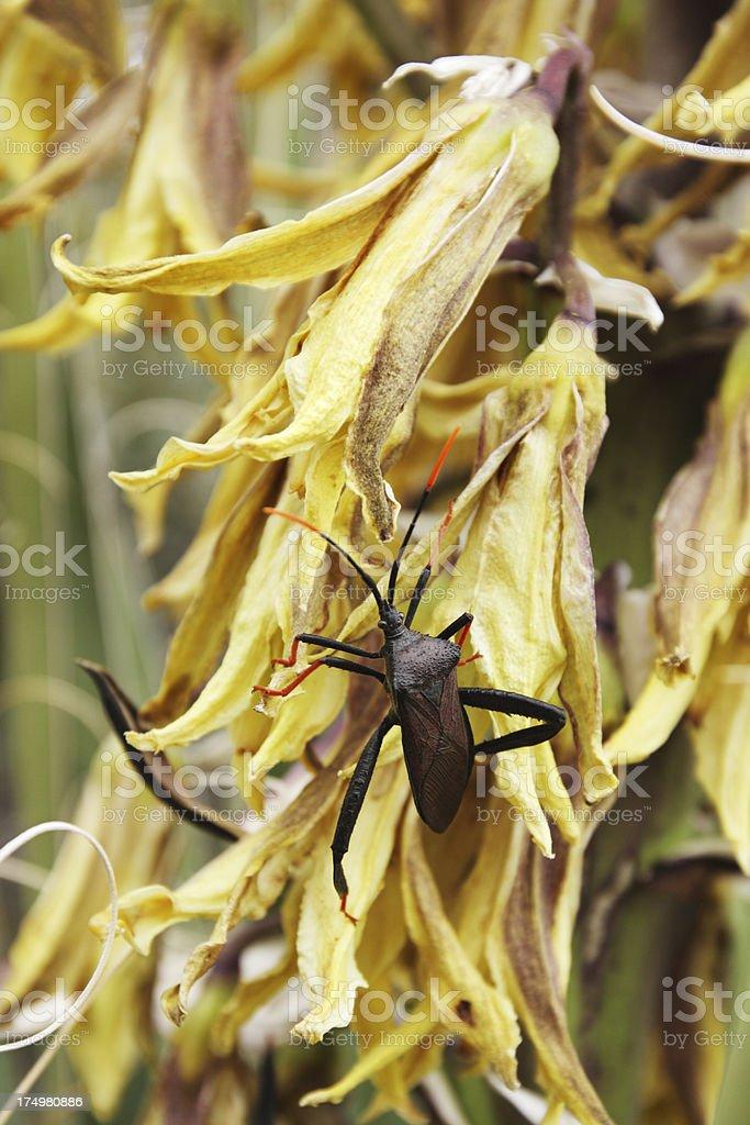 Giant Agave Bug Acanthocephala thomasi Insect royalty-free stock photo