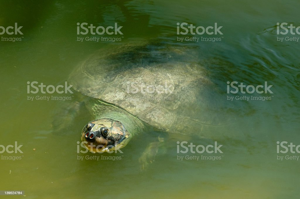 Giant Amazonian River Turtle royalty-free stock photo