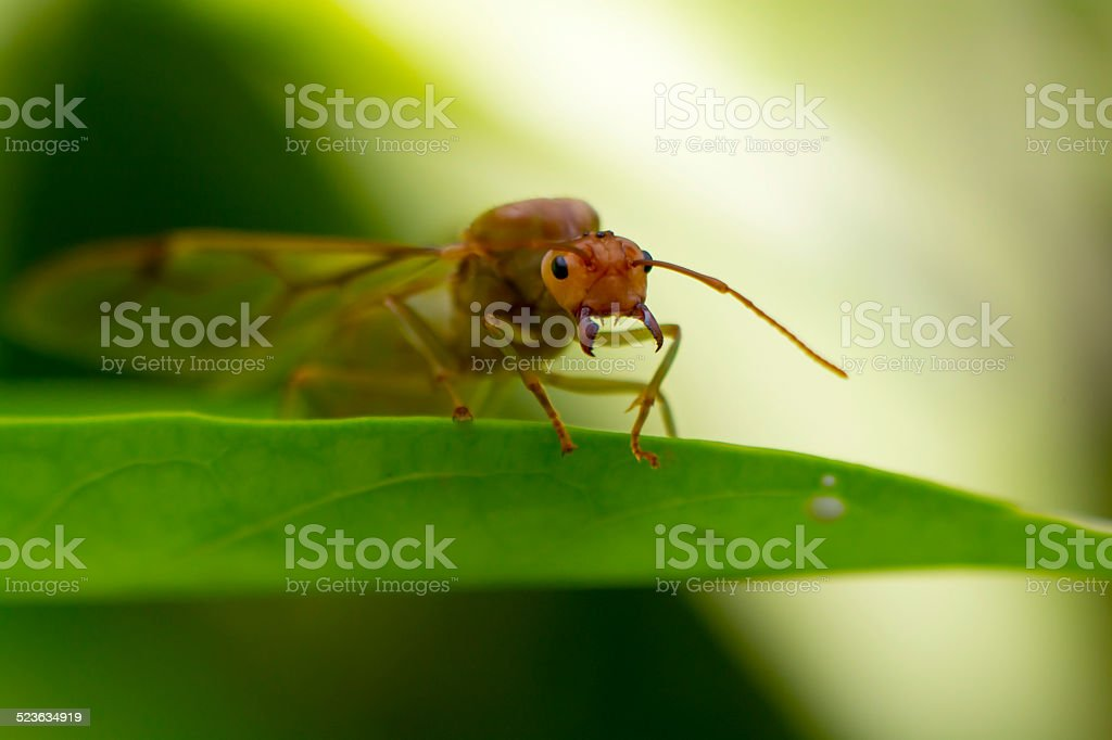 Giant ant shows his fang royalty-free stock photo