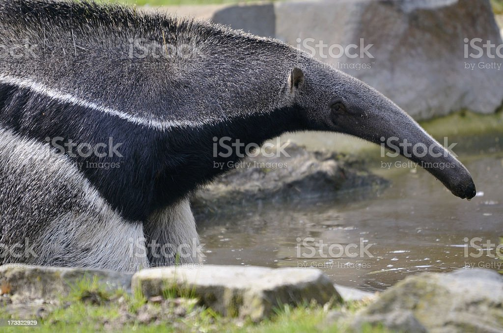 Giant Anteater in the water royalty-free stock photo