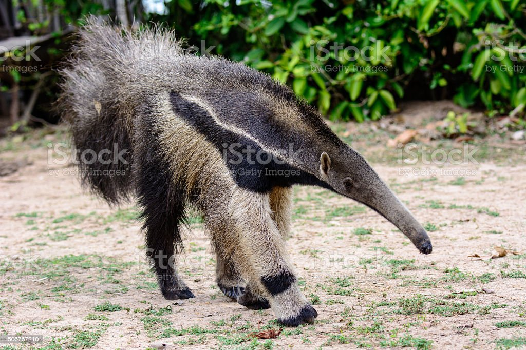 Giant Anteater on the move stock photo