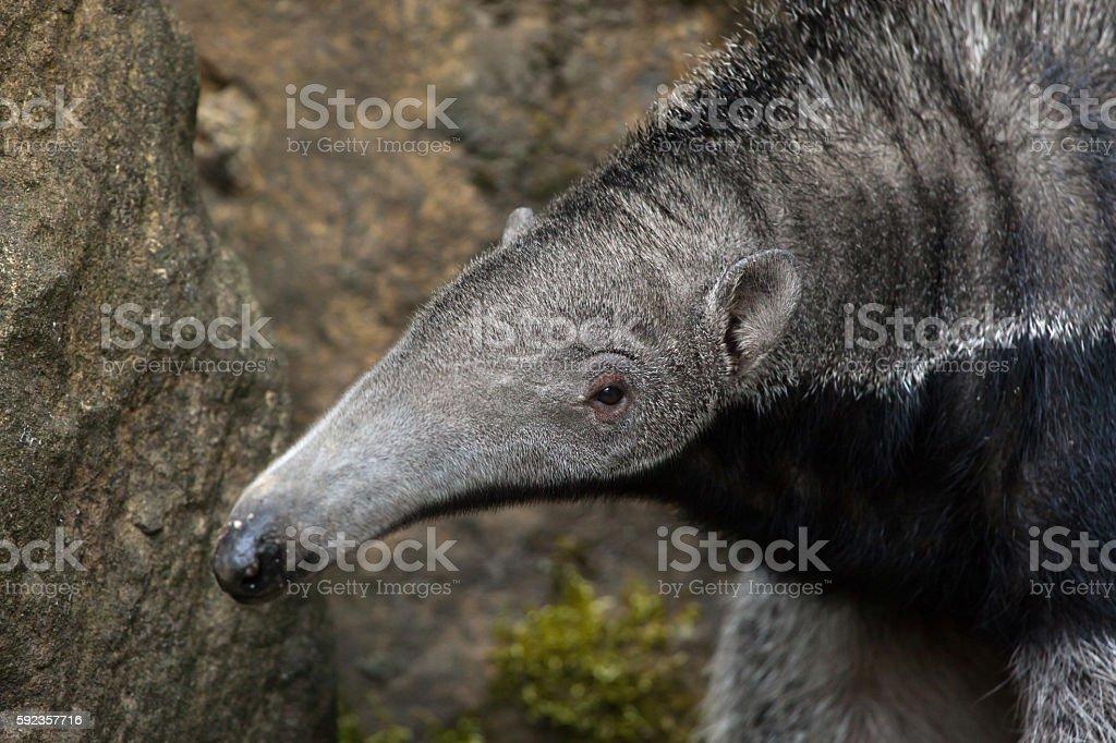 Giant anteater (Myrmecophaga tridactyla). stock photo