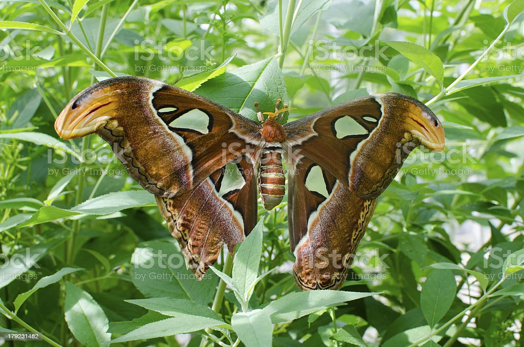 Giant Atlas Moth royalty-free stock photo