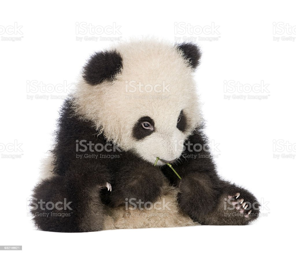 Giant baby panda at six months old stock photo