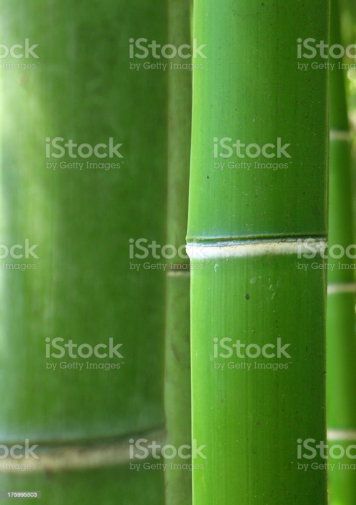 Giant bamboo forest royalty-free stock photo