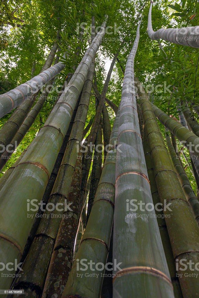Giant bamboo Plants in Rumtek Sikkim India stock photo