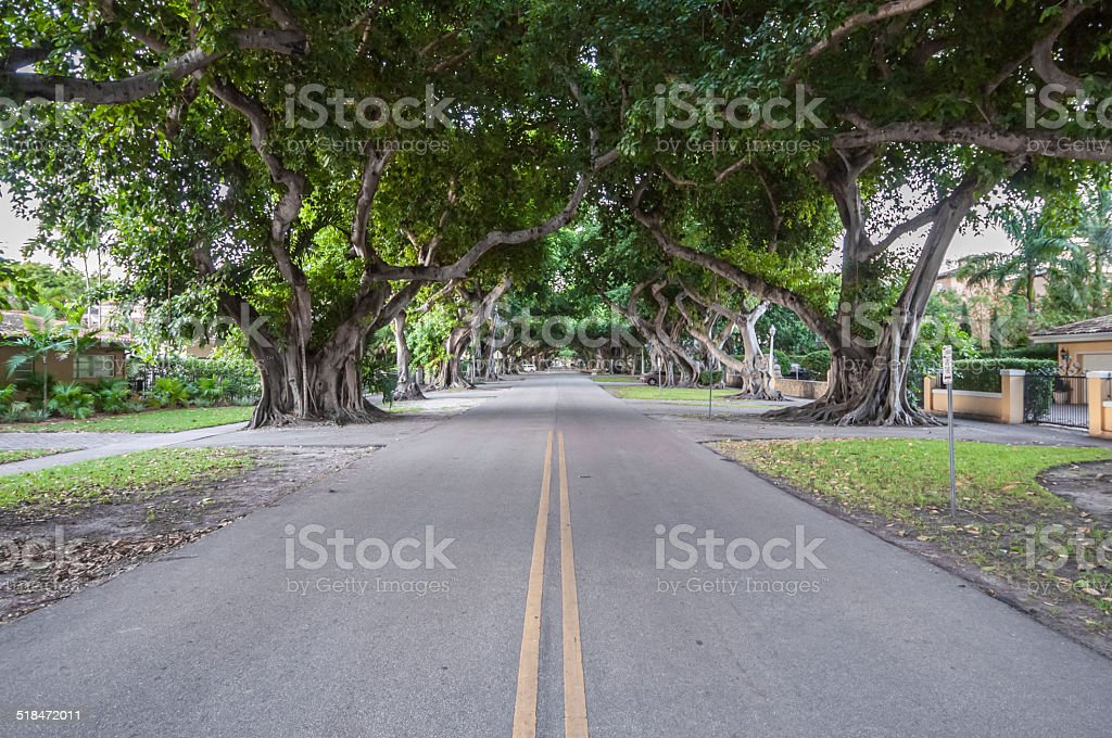 Giant Banyan Trees in Coral Gables stock photo