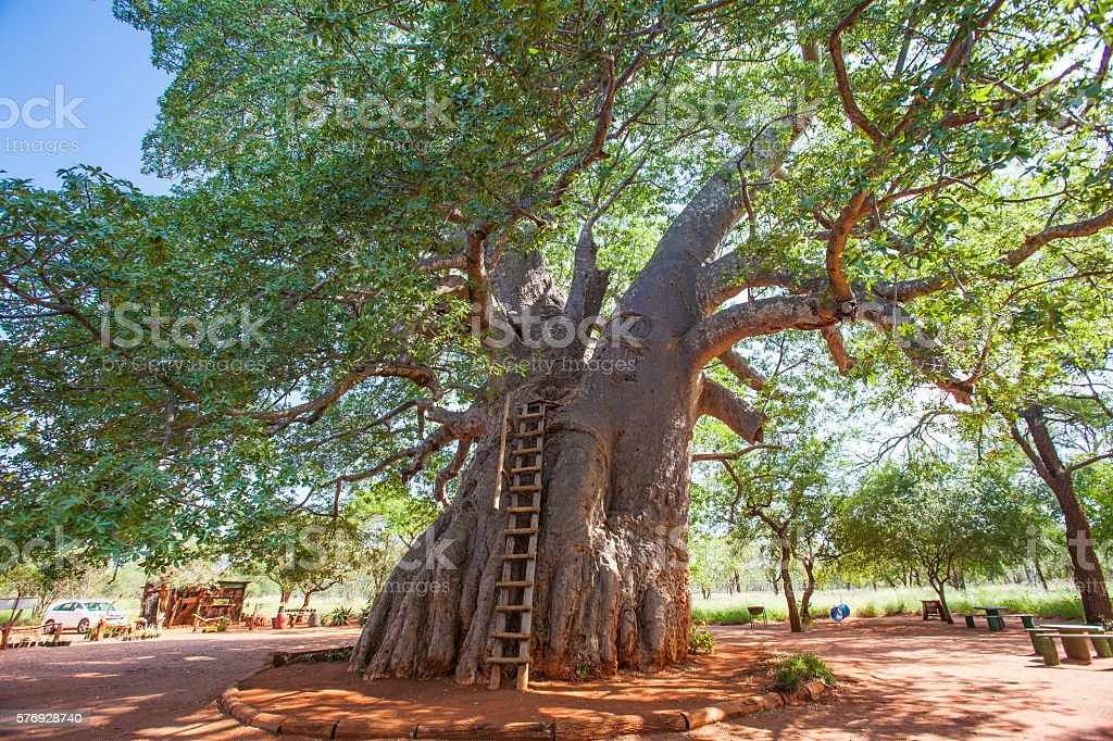 Giant baobab tree in South Africa stock photo