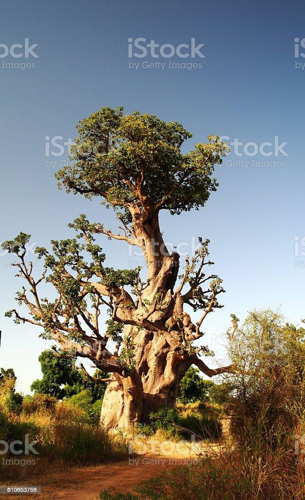 Giant Baobab tree stock photo