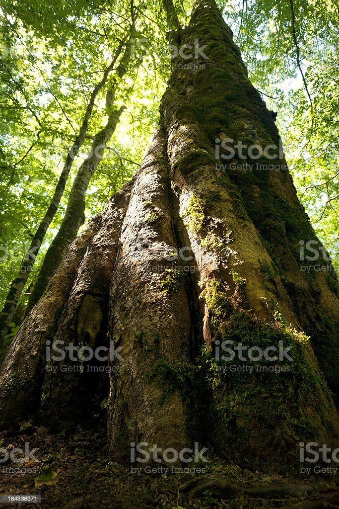 Giant beech tree royalty-free stock photo