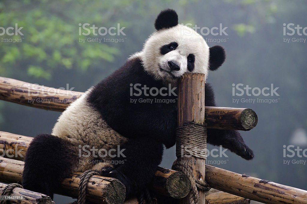 Giant black and white panda bear leaning on a wooden fence stock photo