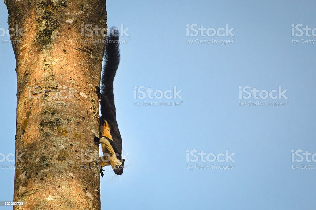 Giant Black Squirrel in Khao Yai National Park Thailand stock photo