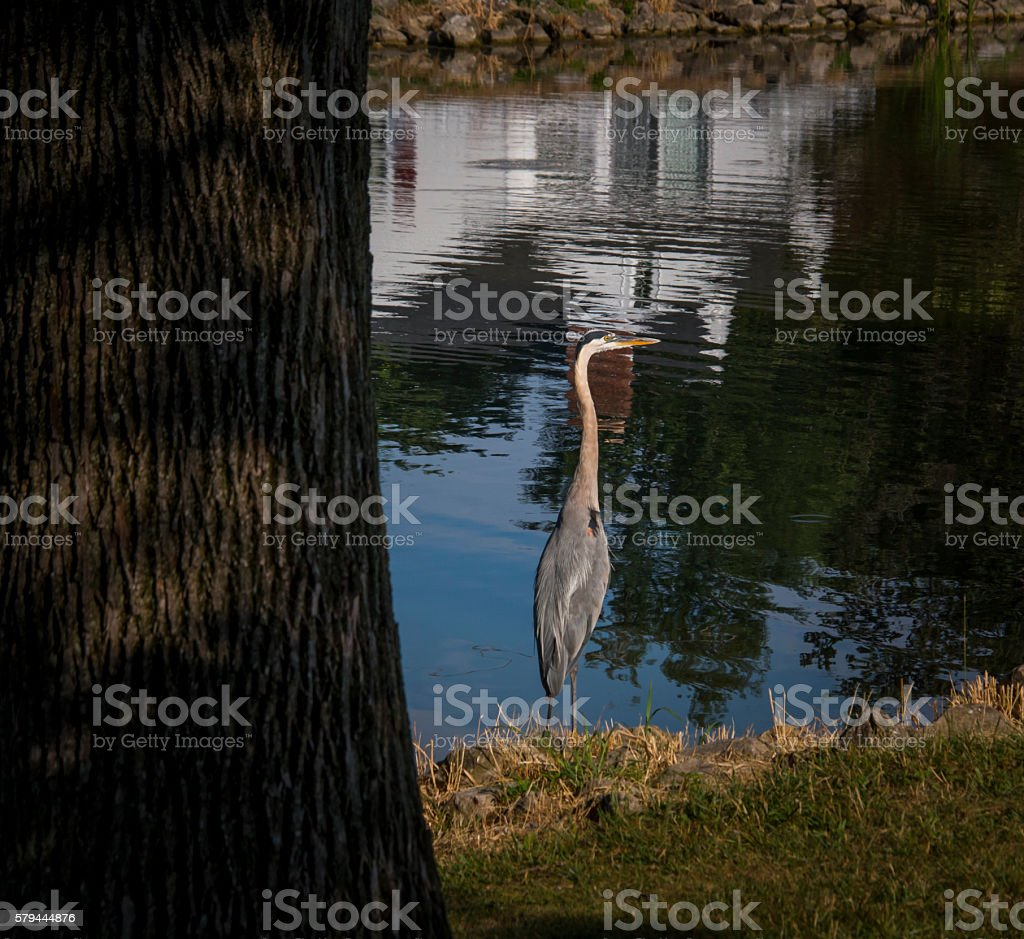 Giant blue hering stock photo