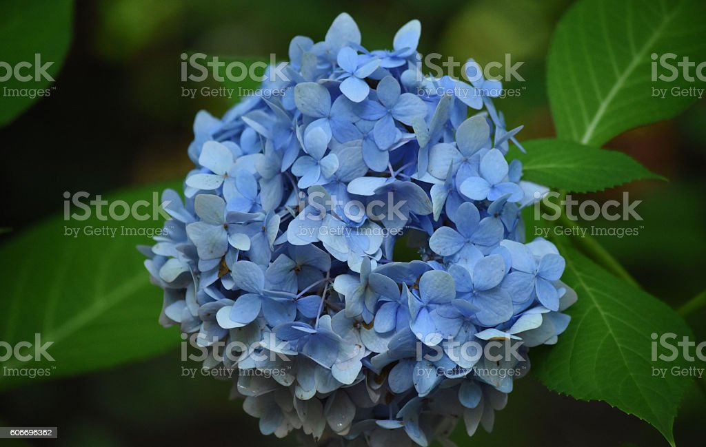 Giant blue hydrangea blossom with green leaves stock photo